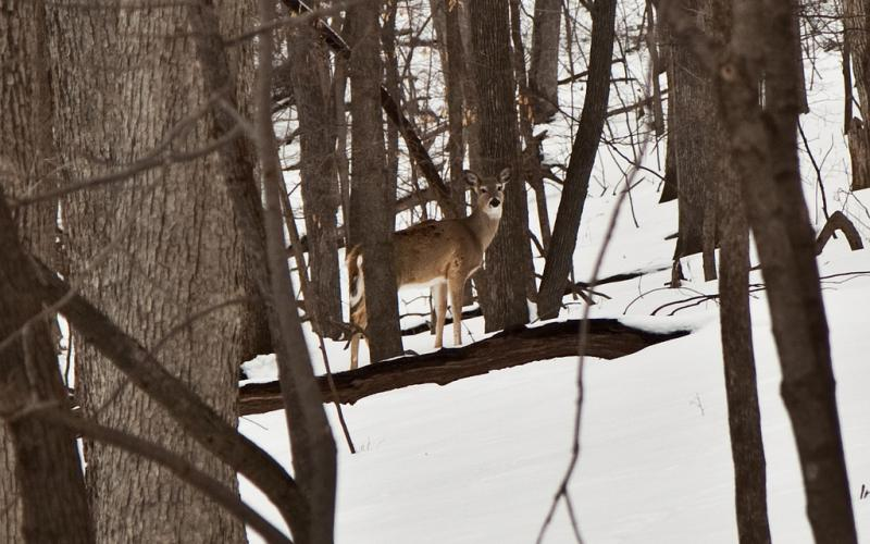 Iowa's deer population has been dwindling since its peak in early 2000