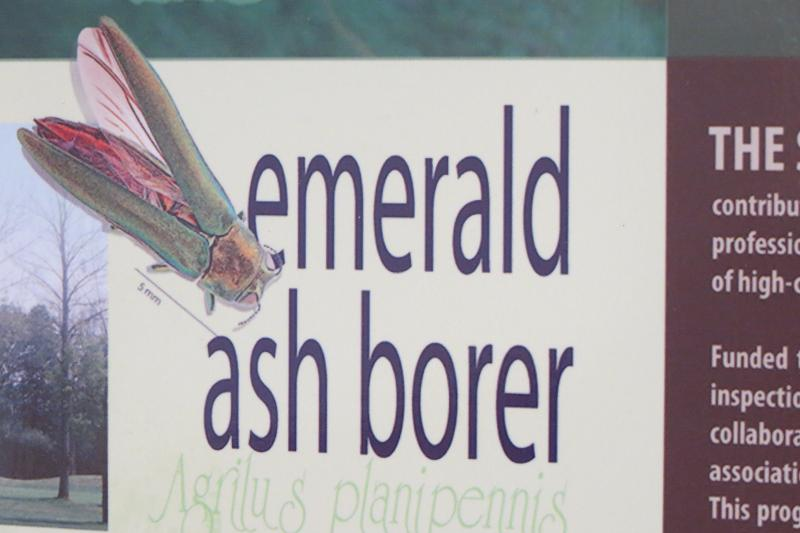 The emerald ash borer exhibit at the Day of Insects event.