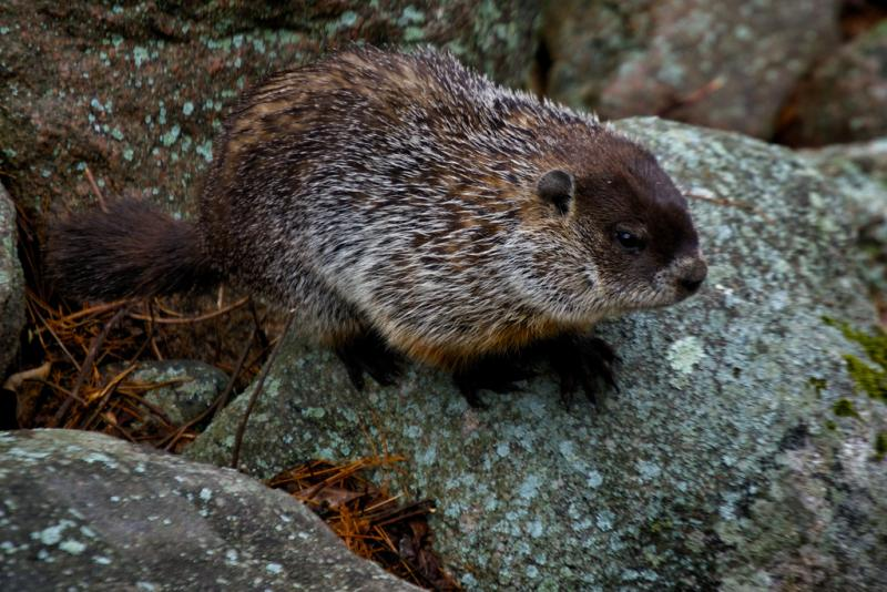 Iowa's had deeper frost levels this year due to an early onset of cold and a lack of both snow cover and moisture.  As a result likely fewer animals that hibernate underground like woodchucks (pictured above,)  turtles and snakes survived the winter.