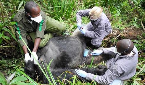 Gorilla doctors working on a patient