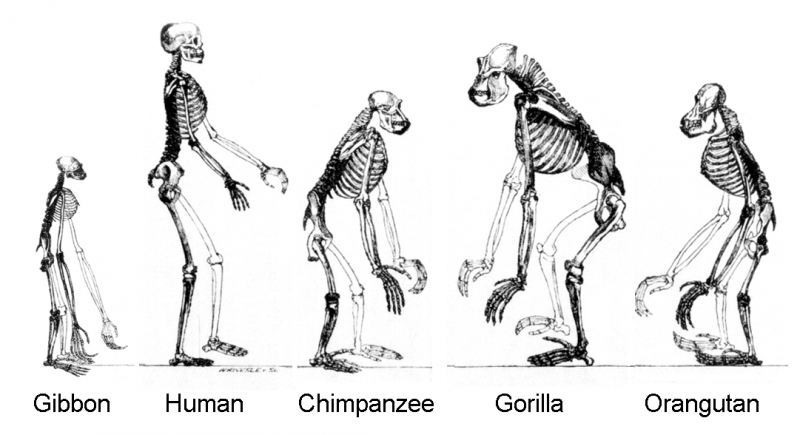 Apes or hominoids are all descendants of a common ancestor.