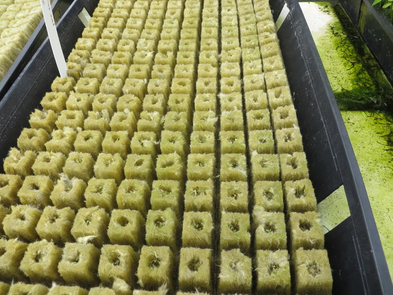 Lettuce can grow from seeds to table in 35 days in the controlled environment