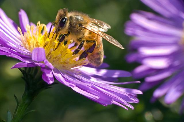 Honeybee on flower.