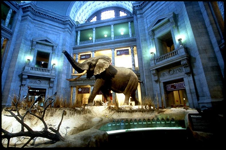 An African bull elephant at the National Museum of Natural History.  That's part of the Smithsonian which will be led by former Iowan David Skorton