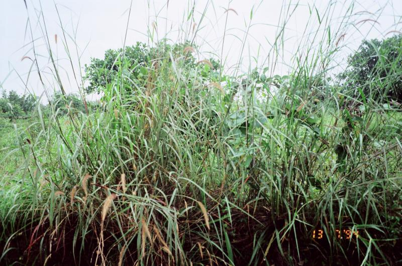"After Agent Orange, ""American grass"" was the first thing to grow back in Vietnam's Mekong Delta. Miscanthus is native to Southeast Asia."