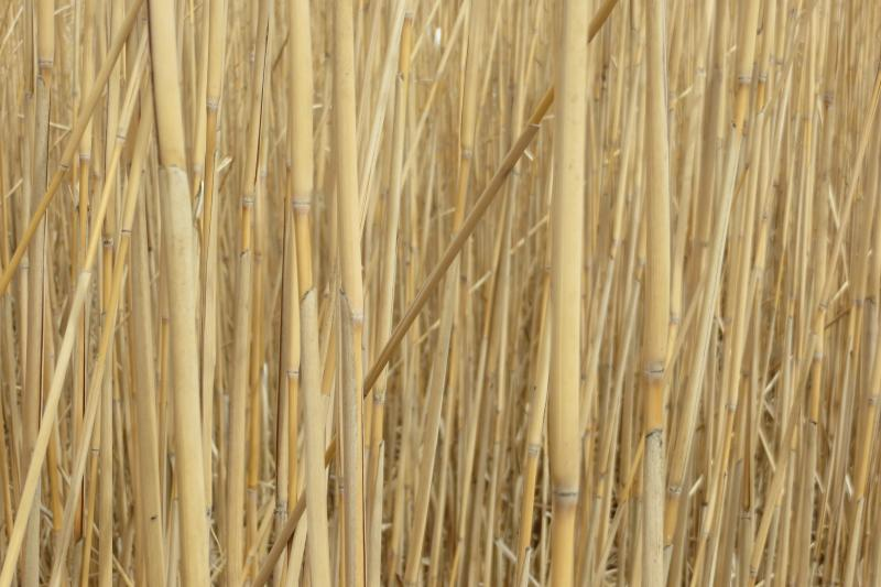 A stalk of miscanthus resembles a thin bamboo fishing pole.