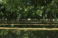 Pecan trees being irrigated in New Mexico