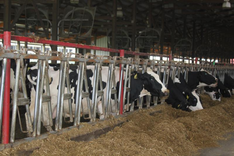 Dairy cows, such as these on Dorine Boelen's farm in Brooklyn, Iowa, can be treated with certain medicines. Frequent testing ensures no medications they've been treated with enter the food supply.
