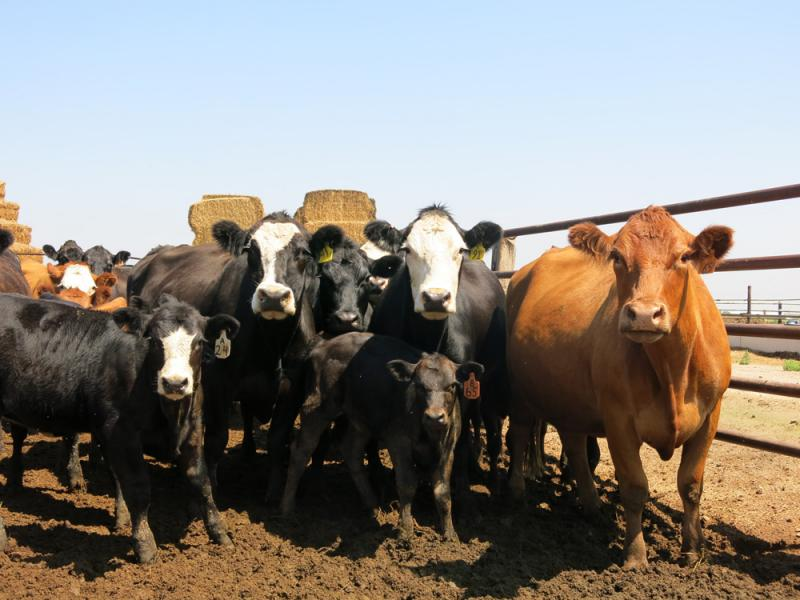 Schweiser raises several hundred head of cattle and grows corn, wheat and alfalfa at his farm in Rocky Ford, Colo.