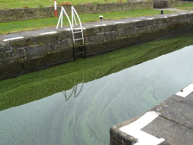 Blue-green algae is dangerous to drink and to swim in.