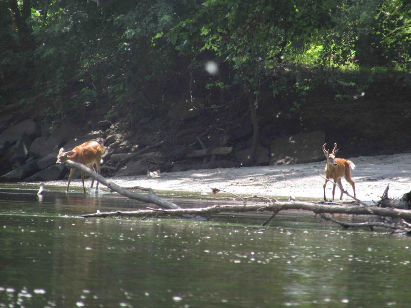 Buck and doe along the West Fork of the Des Moines River