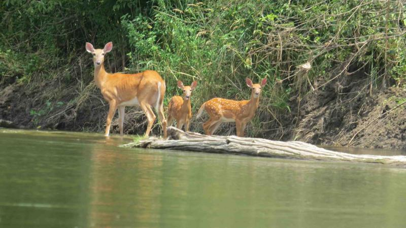 Doe and twin fawns on the Upper Iowa River