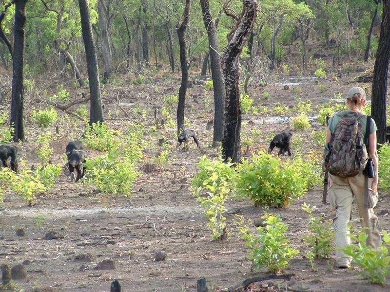 Jill Pruetz walking with chimpanzees in Senegal