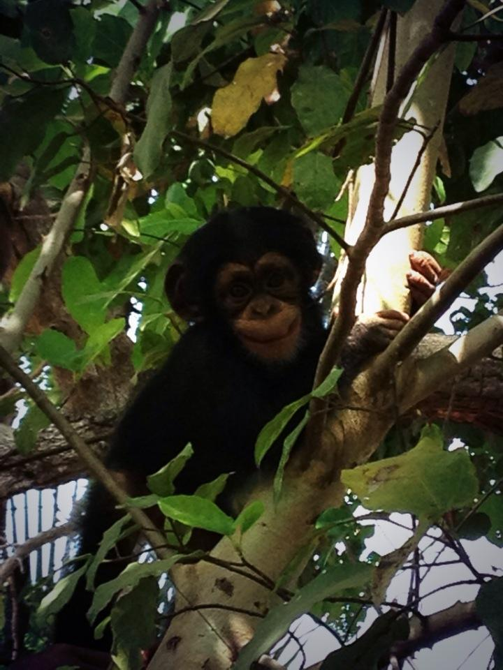 "Toto the chimpanzee expressing a ""fear grin"" in a tree"
