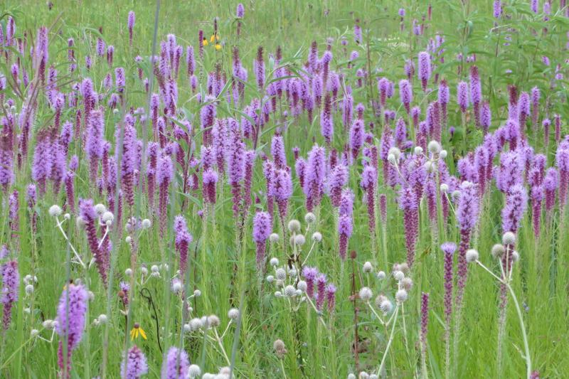 A field of blazing star at Doolittle Prairie near Story City