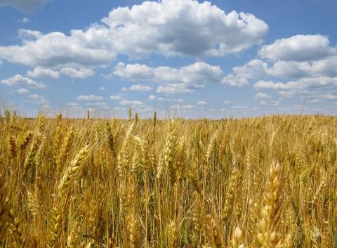 Farmers in Ukraine produced more than 22 million metric tons of wheat in the 2013-14 marketing year, to the U.S.'s nearly 58 million metric tons, according to USDA estimates.