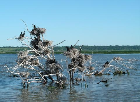 Conservation groups have documented about 260 bird species at Emiquon, including these double-crested cormorants.