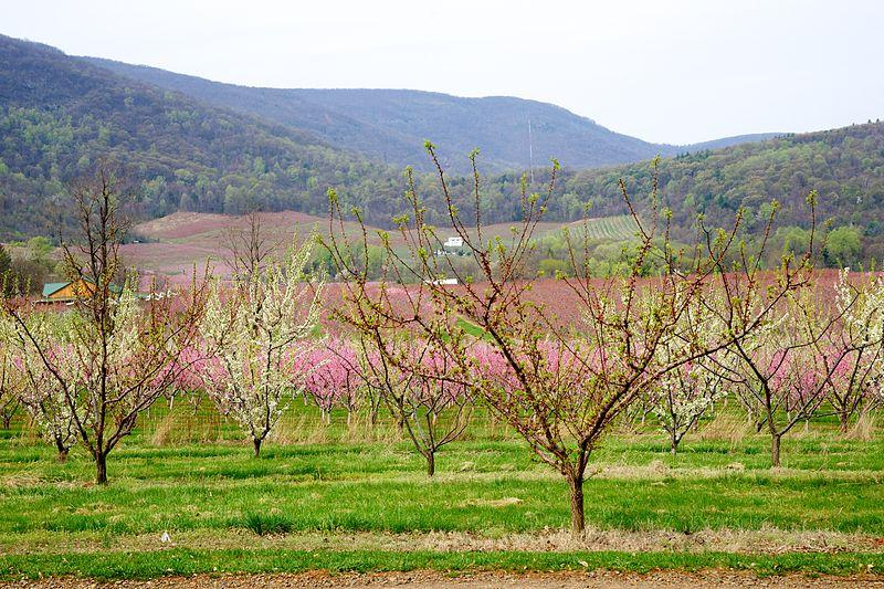 Peach orchards, like this one in Virginia, may seem foreign to Iowa. But peaches are one of the many new, unexpected crops farmers are trying to grow in Iowa.