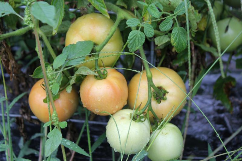 Since tomato plants can be harvested several times during the season, rotten ones must be removed to protect the rest of the plant. Bad tomatoes get composted.