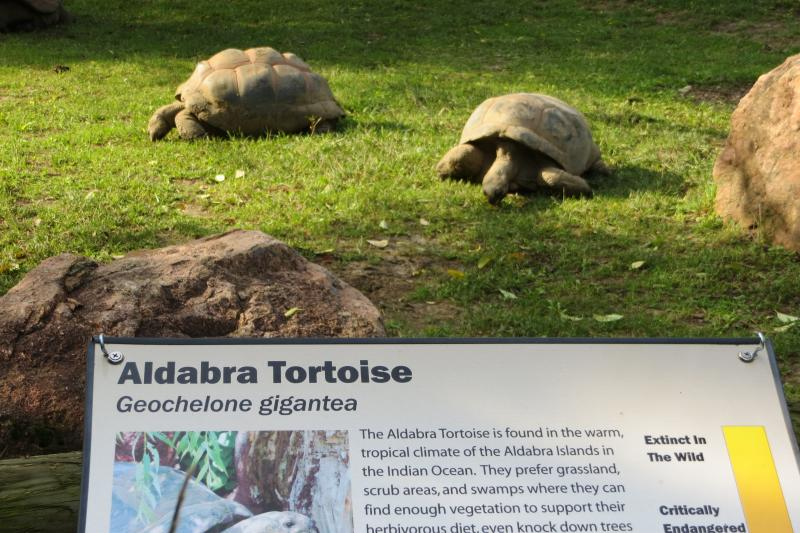 Aldabran tortoises are fairly plentiful, and no longer endangered or threatened