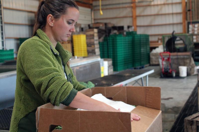 Whitney Brewer, a member of the farm crew at Grinnell Heritage Farm, packages freshly harvested kale into boxes for delivery to wholesale customers the same day.