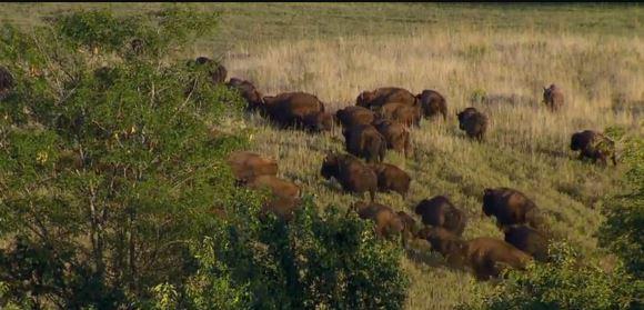Bison roaming on Bob Jackson's farm near Promise City