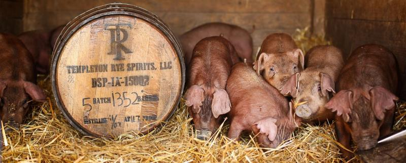 Templeton Rye's Heritage Pork Project pigs