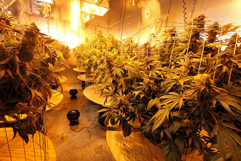 Medical cannabis growing operation in Oakland, California.