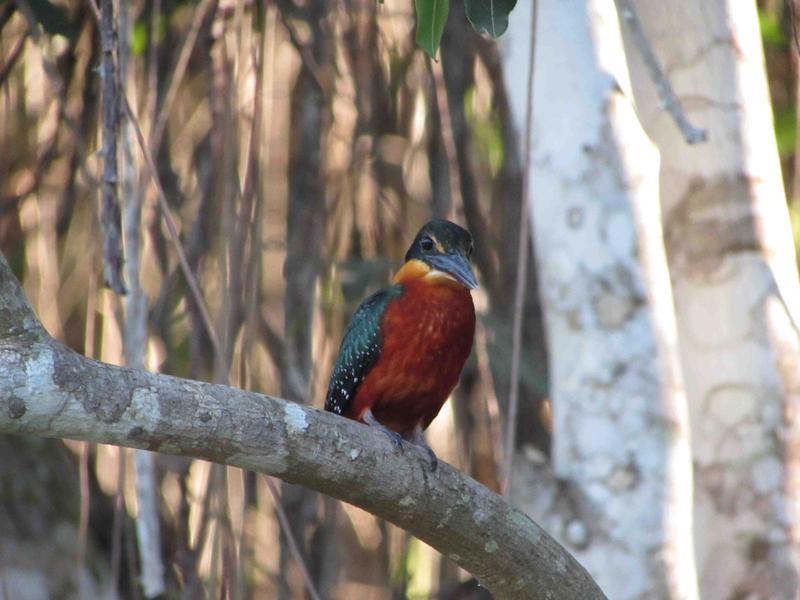 Pantanal, Amer. pygmy kingfisher