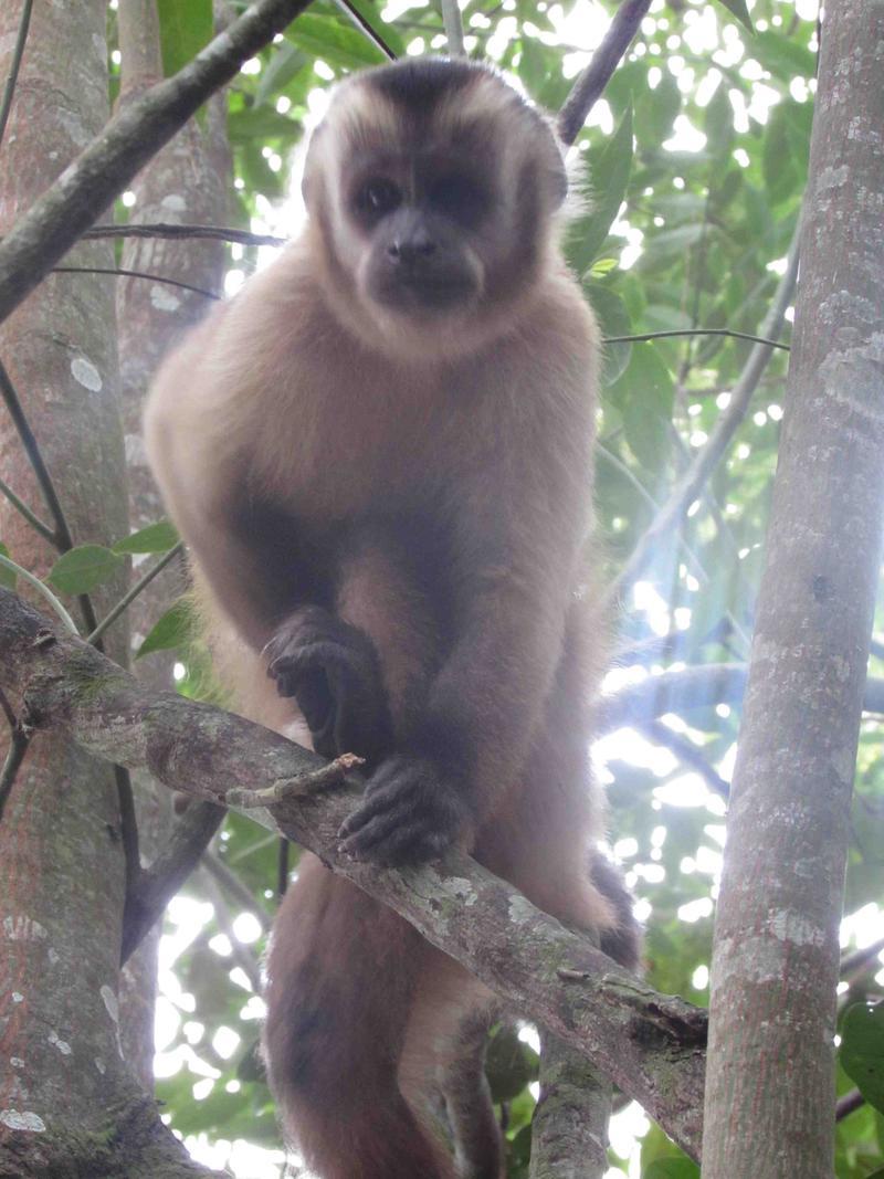 Pantanal, capuchin