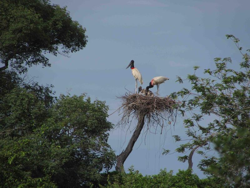 Pantanal, jabirus and nest