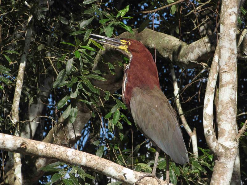 Pantanal, rufrescent tiger heron