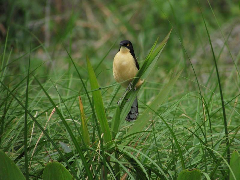 Black-capped donocobius