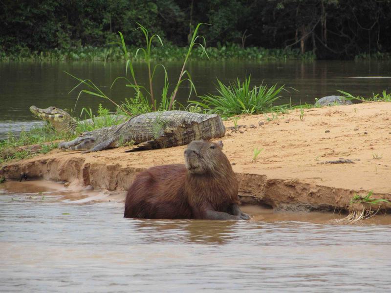 Capybara and caimans