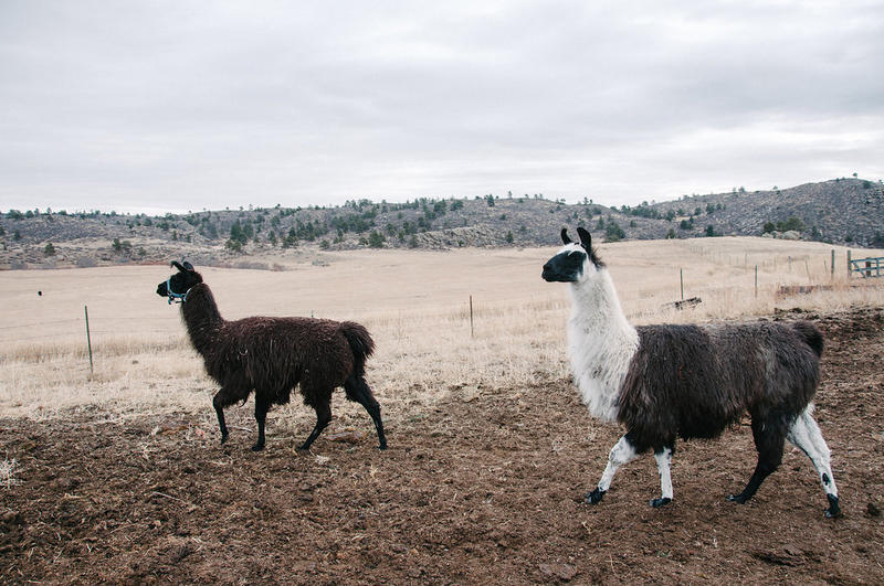 "The sisters refer to the temperamental llamas as ""The Thugs,"" raised both for their fiber and their ability to chase off predators."