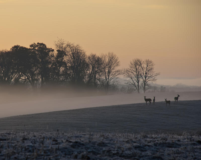 Deer in Mount Vernon, IA