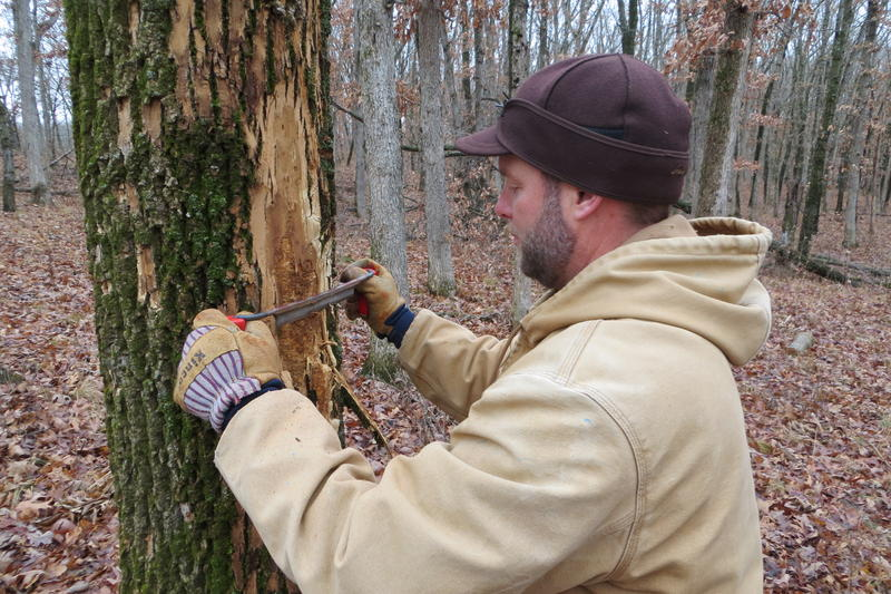 A draw knife is used to expose larvae feeding beneath the bark