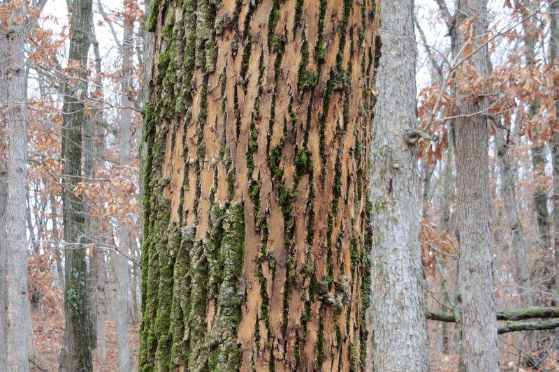 Discoloration is a sign of trouble, from woodpeckers eating larvae under the bark
