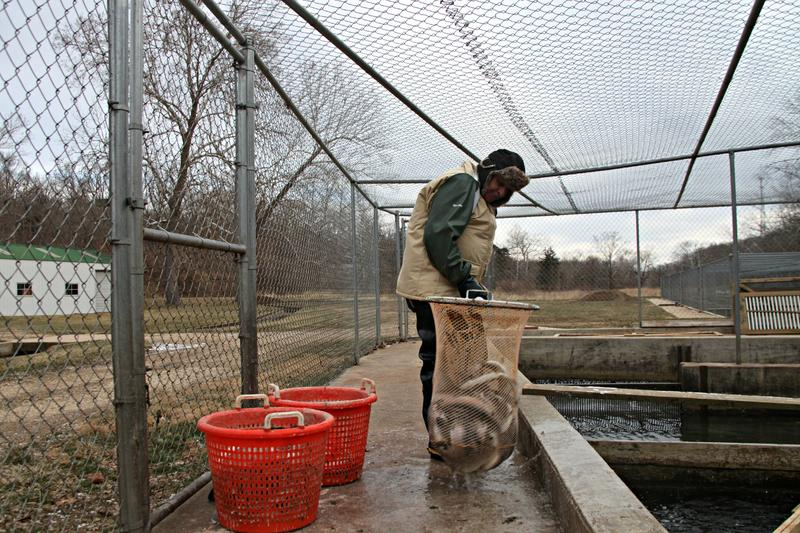 Troutdale farmhand Vince Orcutt pulls out rainbow trout ready to harvest in Gravois Mills, Mo.