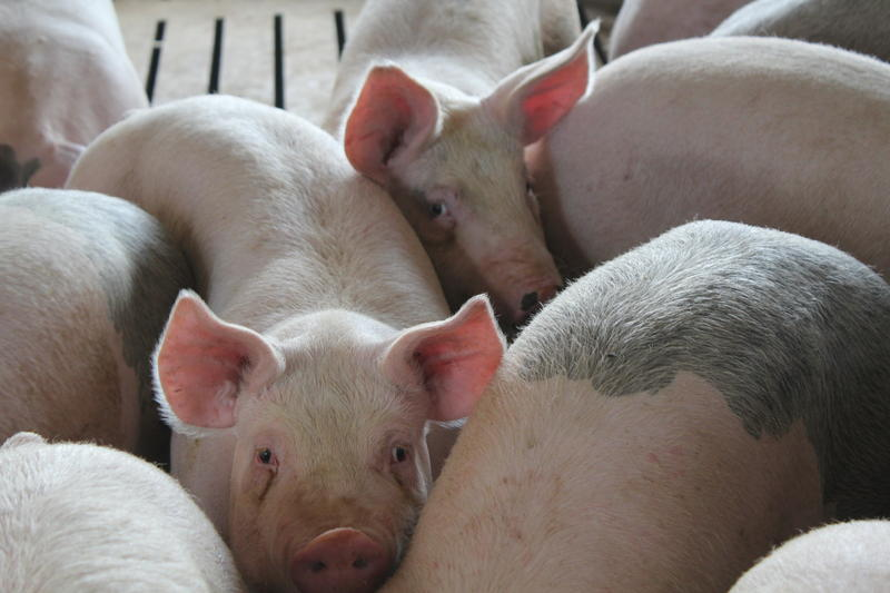 Healthy hogs that made it to market last year fetched a high price. But millions of piglets were lost to porcine epidemic diarrhea virus.