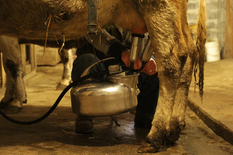 "Zanger uses a ""belly milker"" to milk his three Guernsey cows, which can produce up to 30 gallons of milk a day."