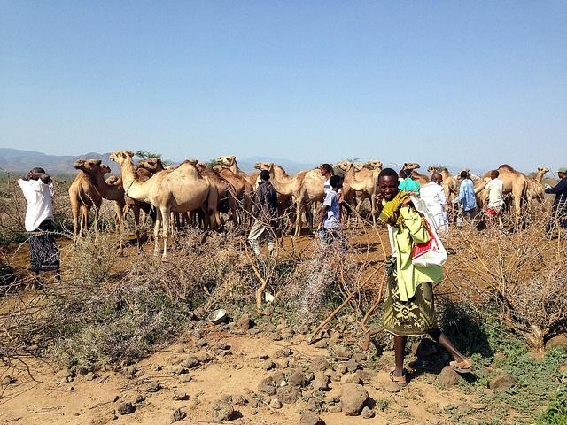 Camels and herders