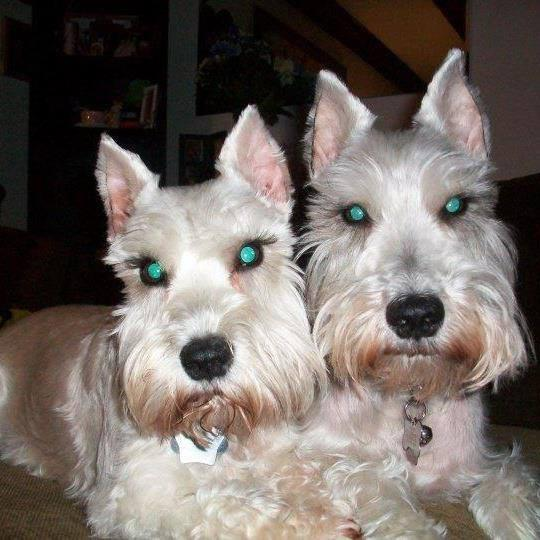 A Miniature Schnauzer named Sissy traveled 20 blocks to find her owner at Mercy Medical Center in Cedar Rapids. Pictured: Sissy (left) and Barney (right)