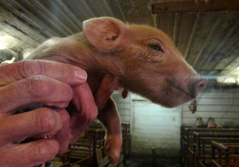 A red wattle piglet is born on Ryan Schieffer's hog farm. He switched to direct marketing the heritage breed after it became difficult to compete in the conventional industry.