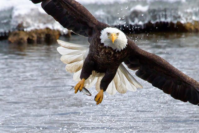 Eagle S Death Highlights The Danger Of Power Lines To