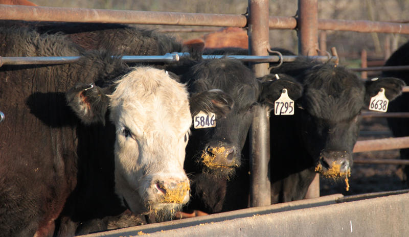 Strains of E. coli that can be deadly to humans are harmless to cattle. But bacteria in their digestive tracts can be transferred to meat during slaughter.
