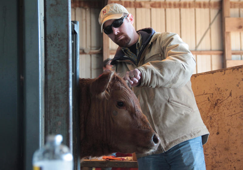 Research technician Bradley Boyd tags a steer that just arrived at the University of Nebraska Lincoln feedlot near Mead, Neb.