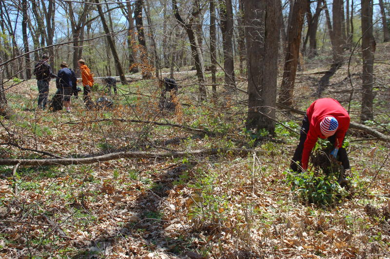 Volunteers from Solon High School give back to the community and fill garbage bags with garlic mustard at Lake Macbride State Park. The invasive weed has spread to the upper Midwest over the last 150 years.