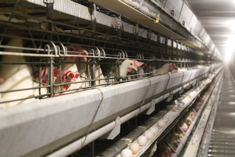 Some of Iowa's laying hens have been hit with avian influenza.