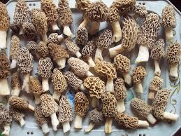 Morel mushrooms are plentiful this time of year in Iowa's wooded areas